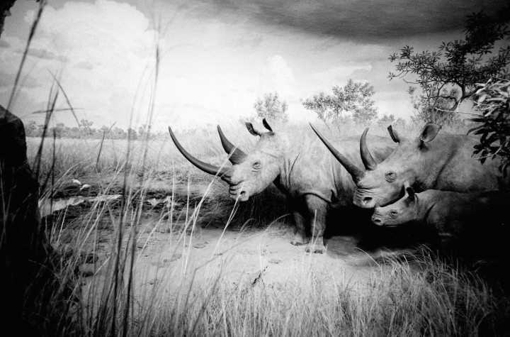 New York - American rhinoceros -